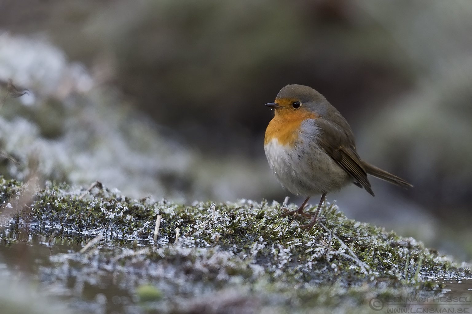 European Robin change