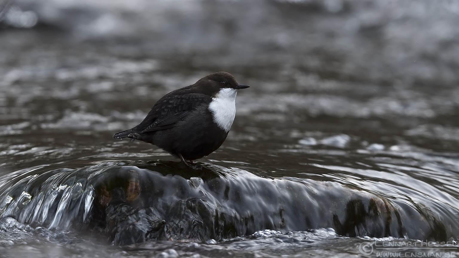 White-throated Dipper change