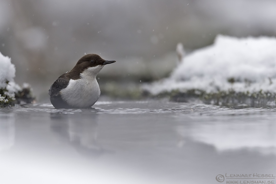 Whithe-throated Dipper water mirror