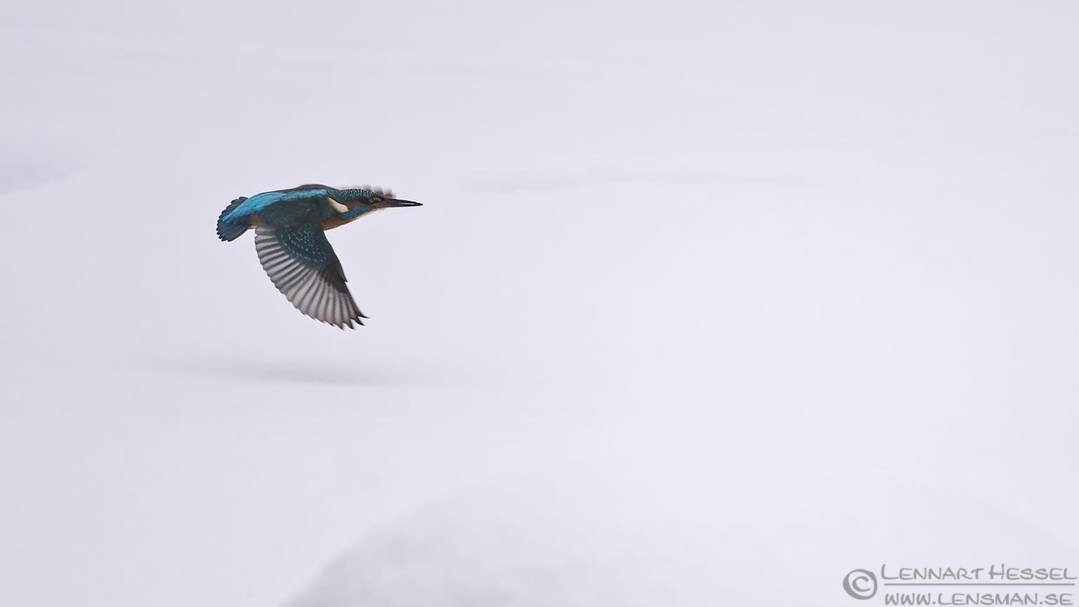 Common Kingfisher flying winter
