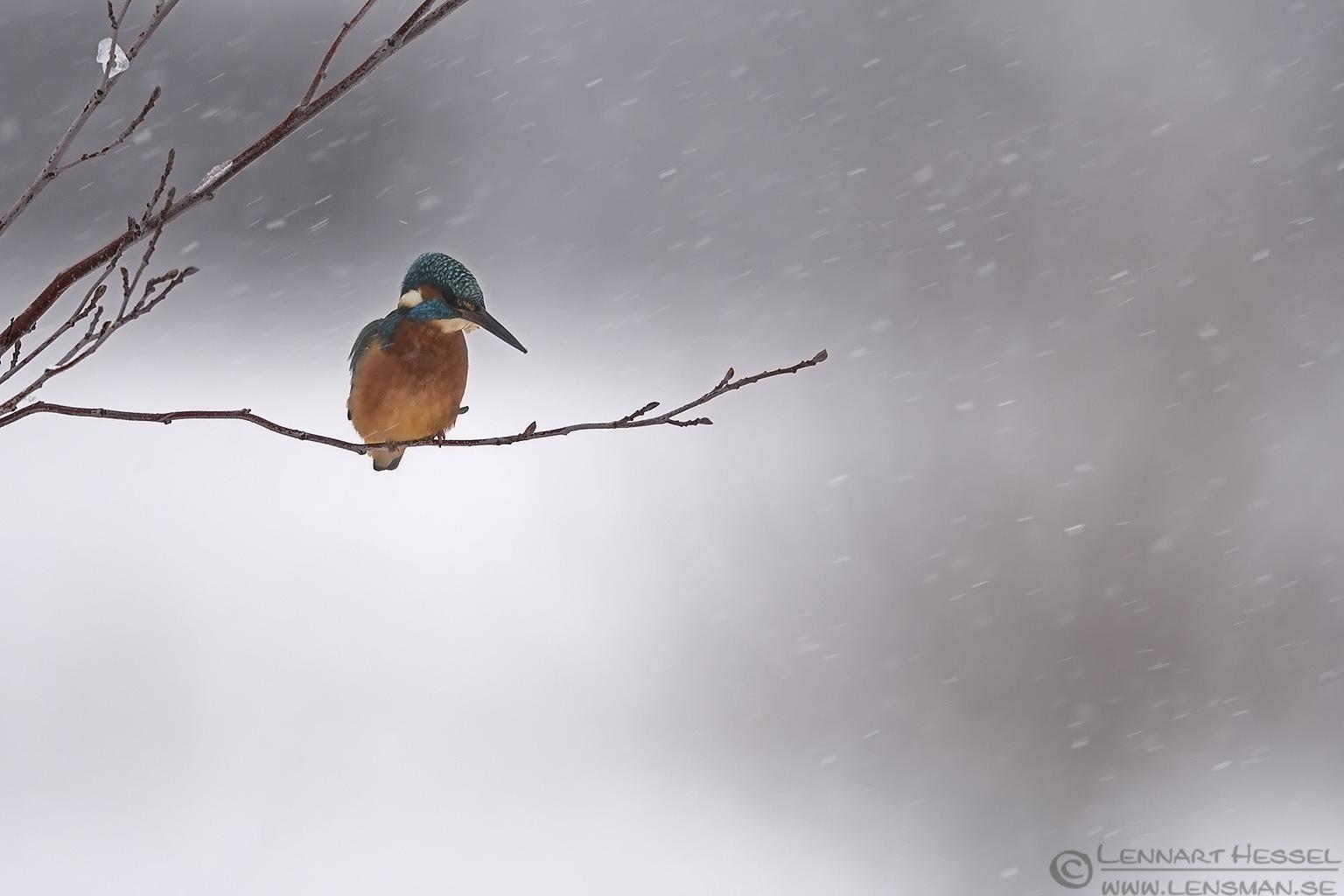 Common Kingfisher winter