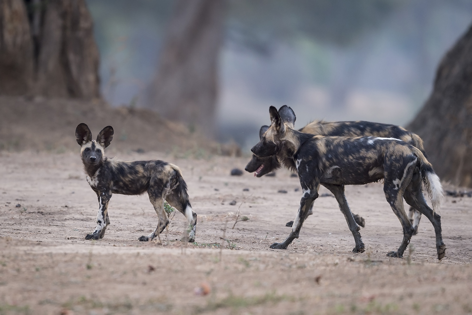 Background Painted Dogs