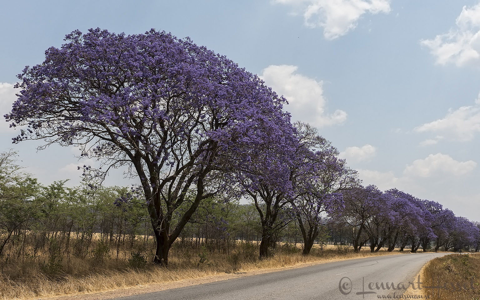 Jacaranda trees Mana Pools National Park