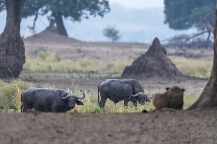 Cape Buffaloes and Lioness Mana Pools National Park