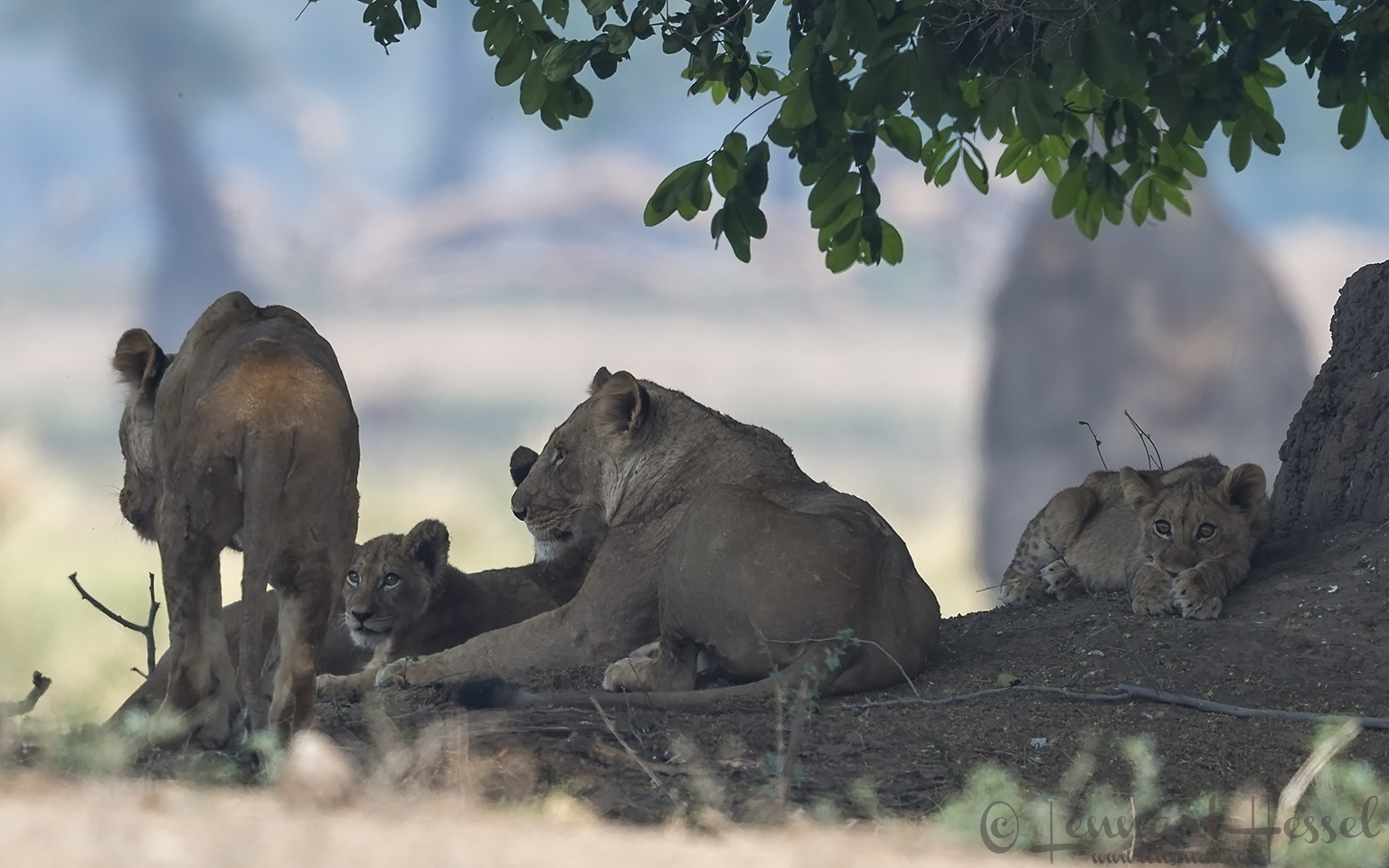 Lion pride resting Mana Pools National Park