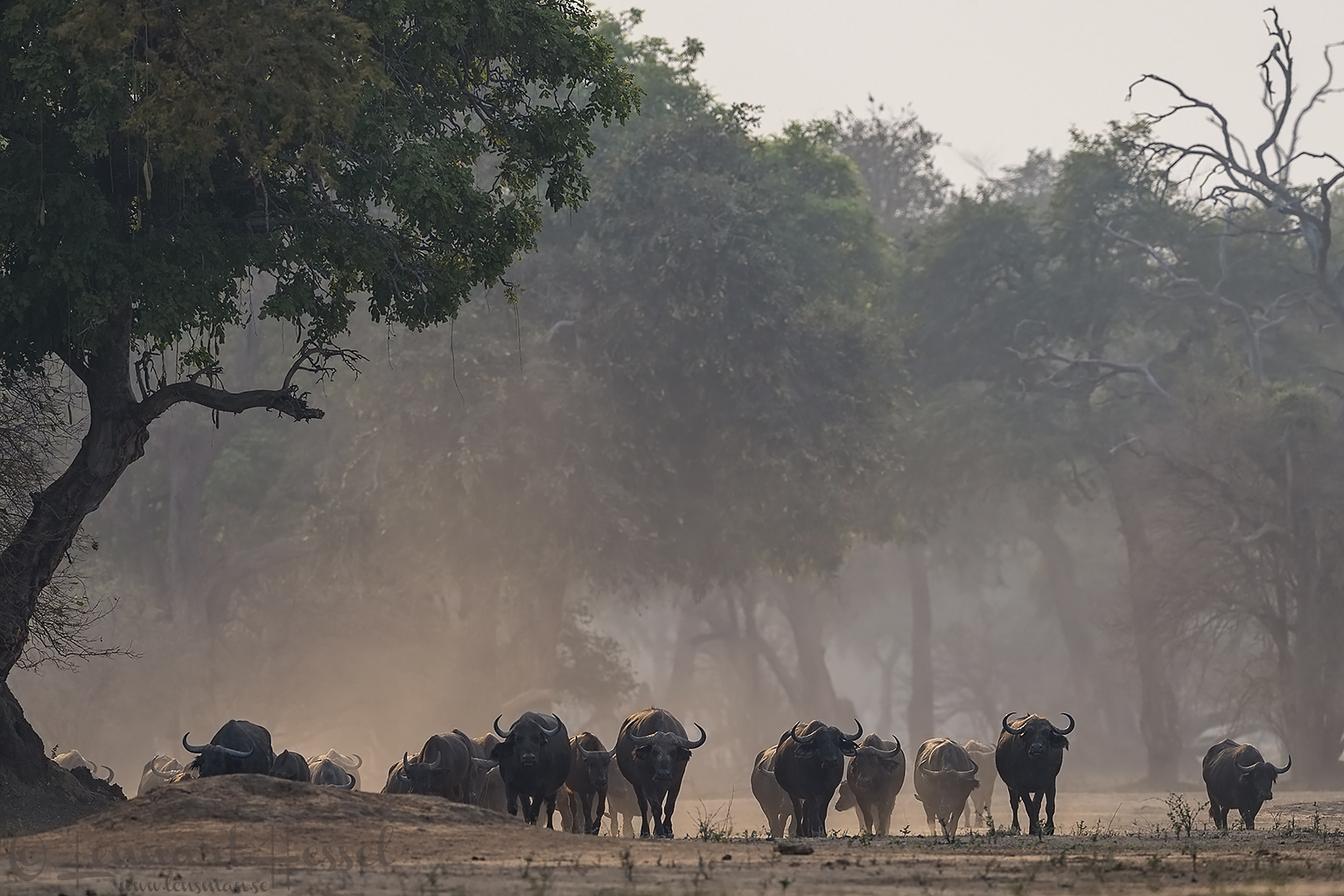 Cape Buffalo herd Mana Pools National Park
