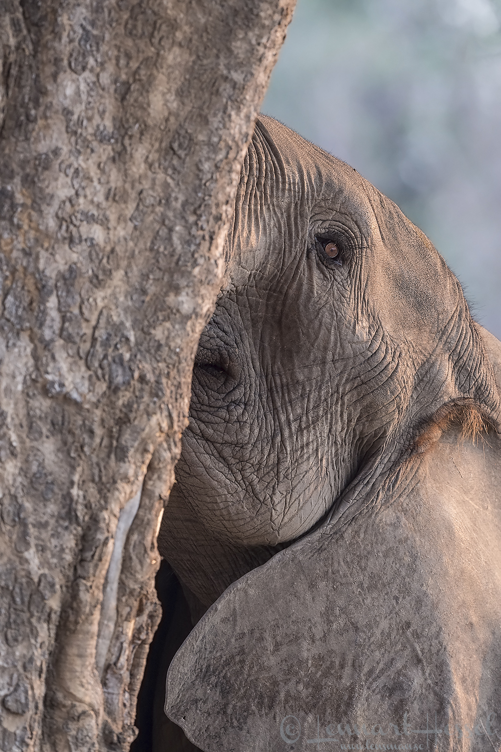 The eye of an Elephant Mana Pools National Park
