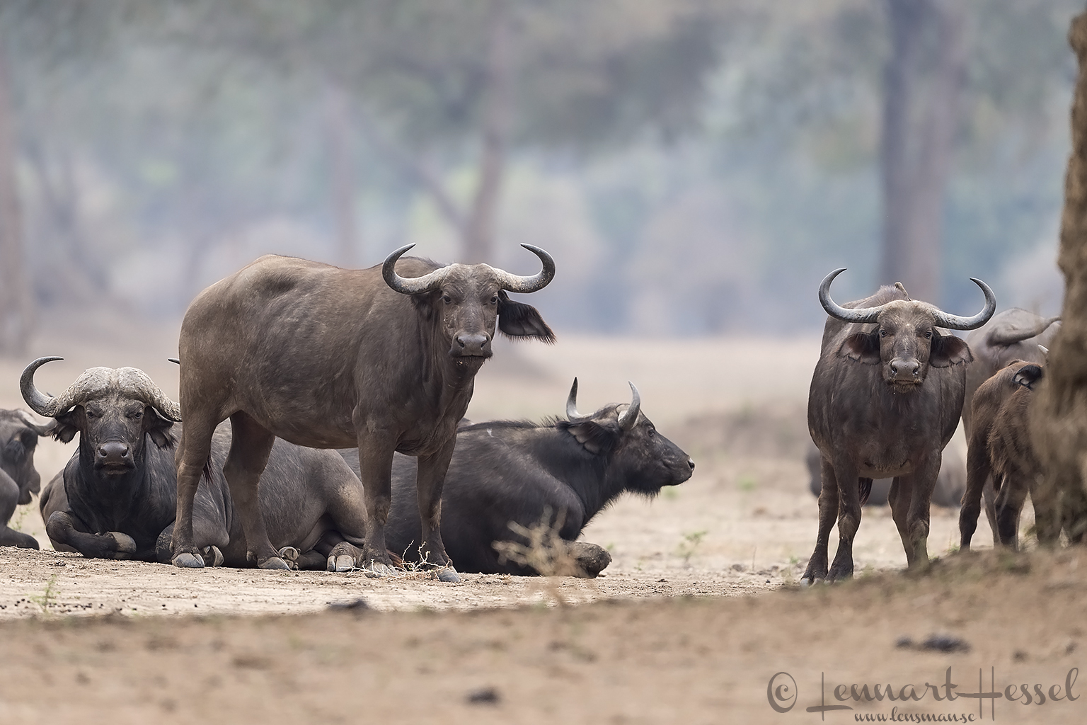 Cape Buffalos Mana Pools National Park