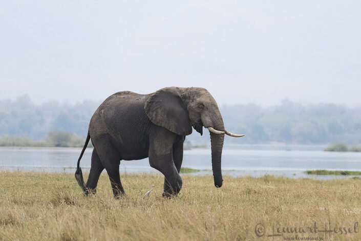 Elephant on the floodplain Mana Pools National Park