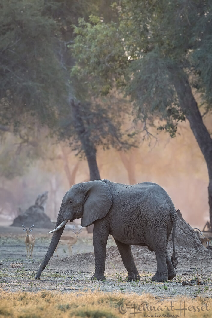 Elephant and Impalas Mana Pools National Park