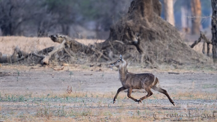 Running Waterbuck Mana Pools National Park