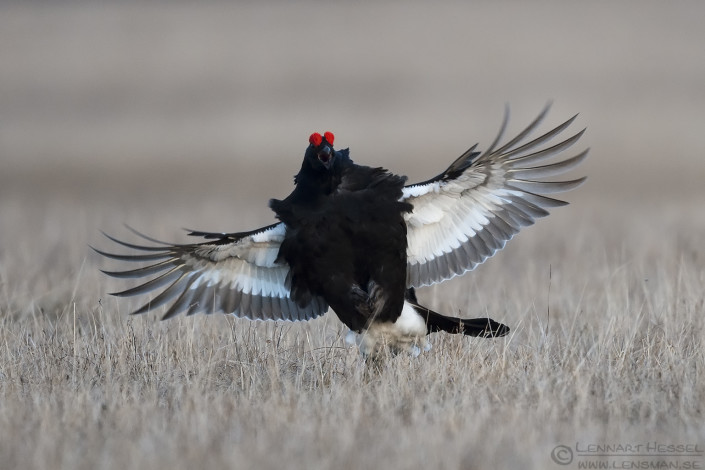 Black Grouse fierce