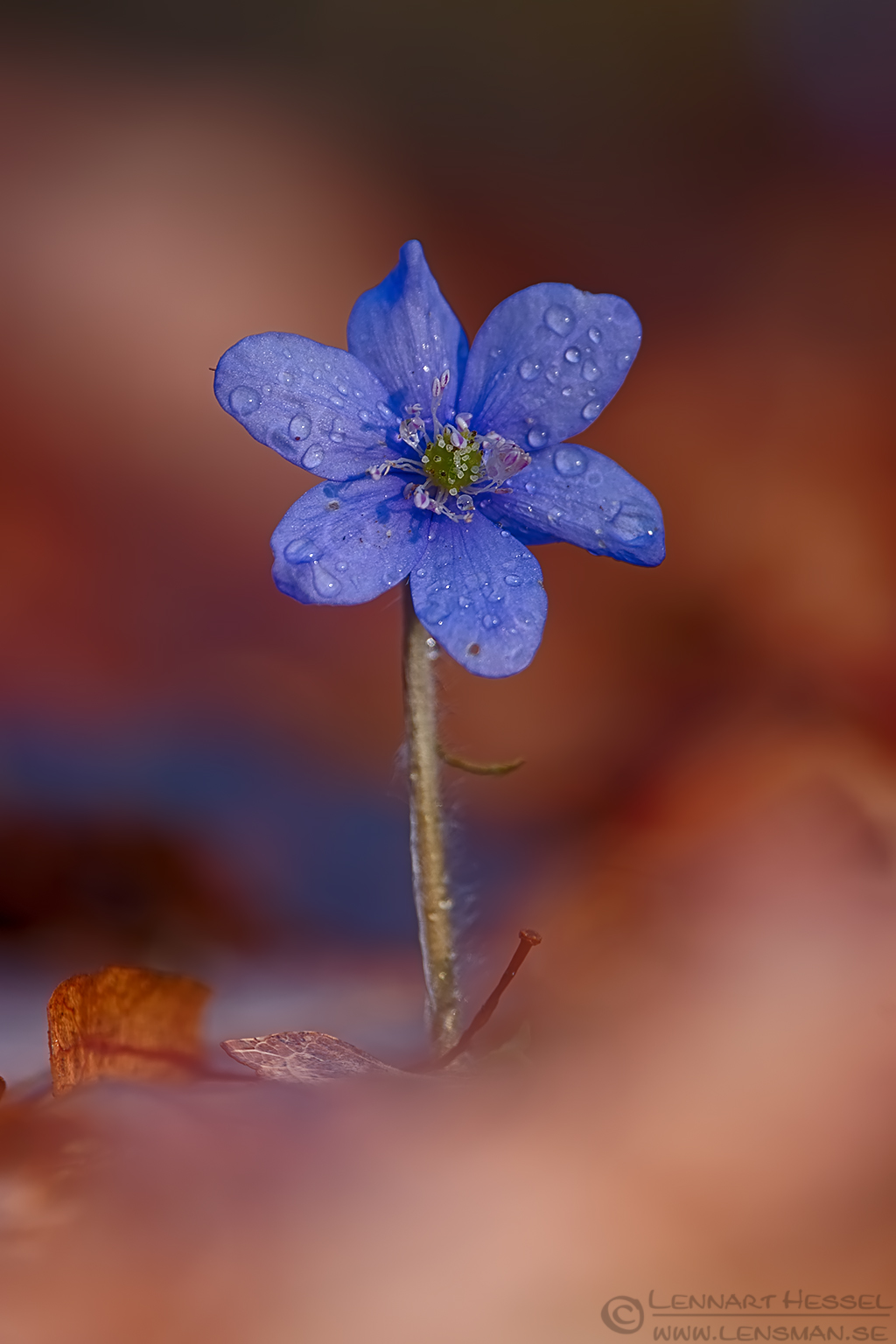 Common Hepatica fierce