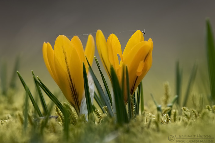Crocuses and insect insects