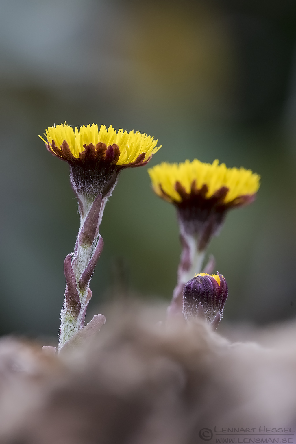 Coltsfoot insects