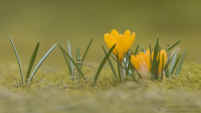 Crocuses and spider insects