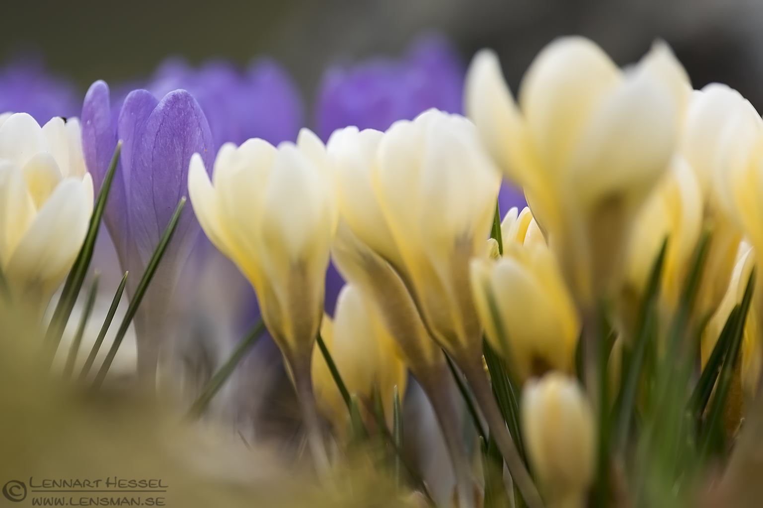 Crocuses insects