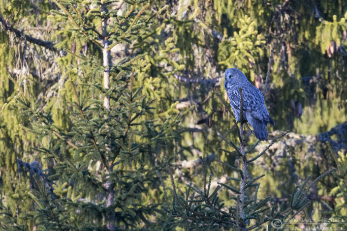 Great Grey Owl intimate landscape