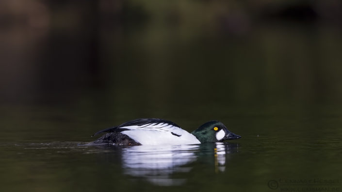 Male Common Goldeneye April