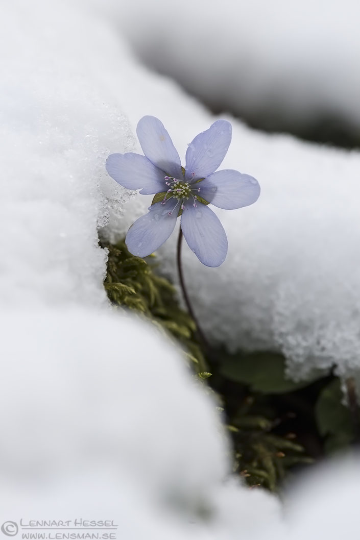 Common Hepatica April