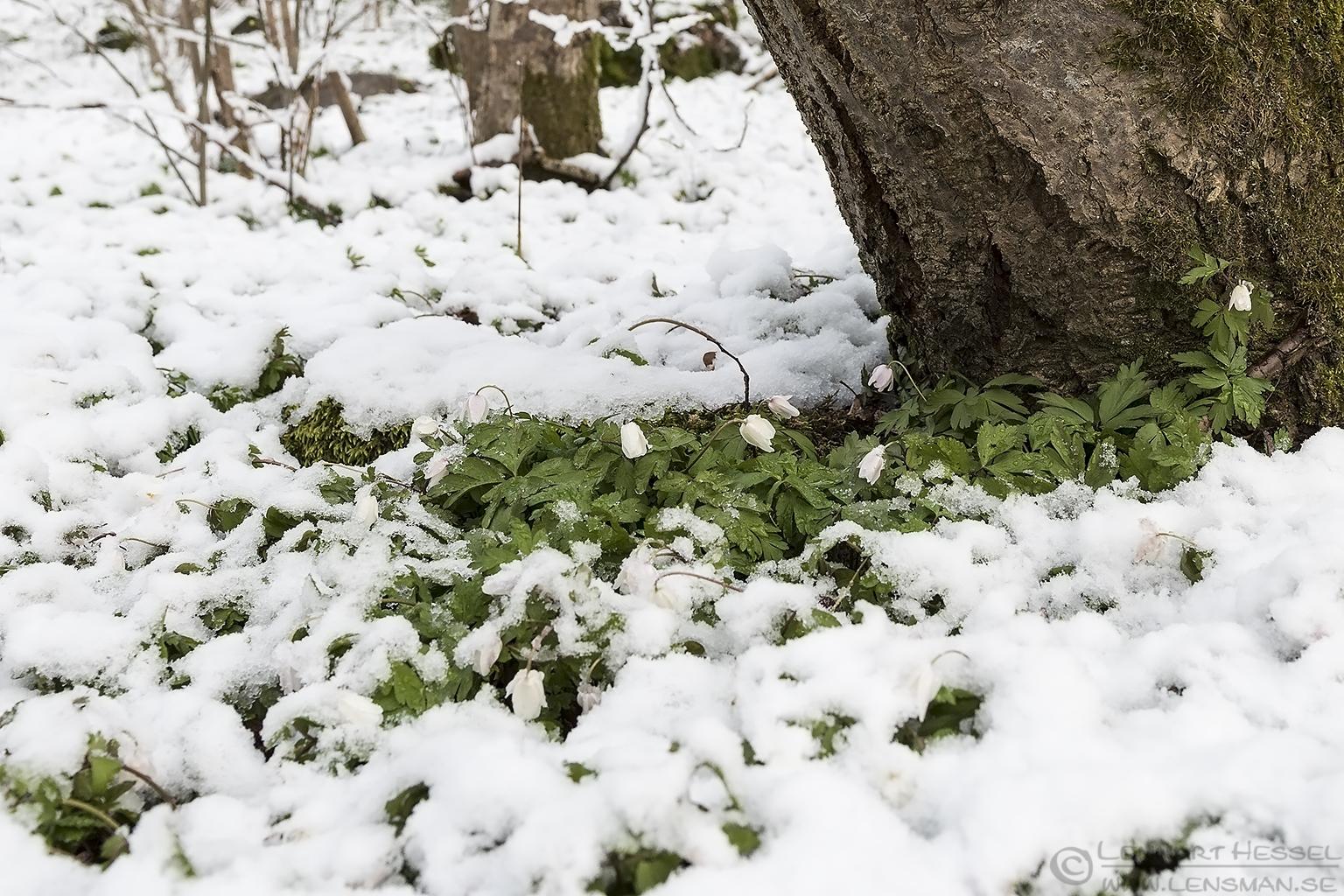 Wood Anemone April