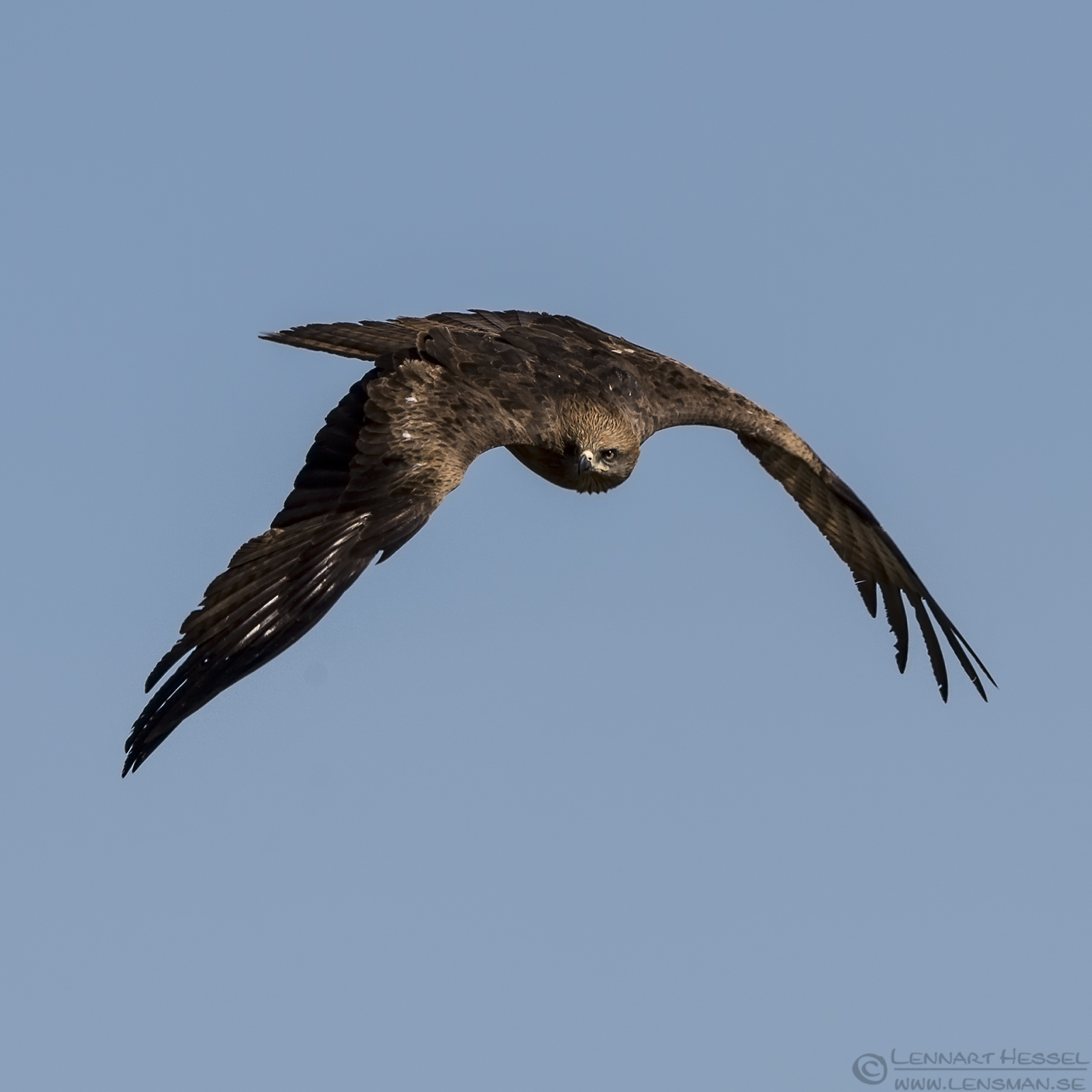 Black Kite Bulgaria 2016