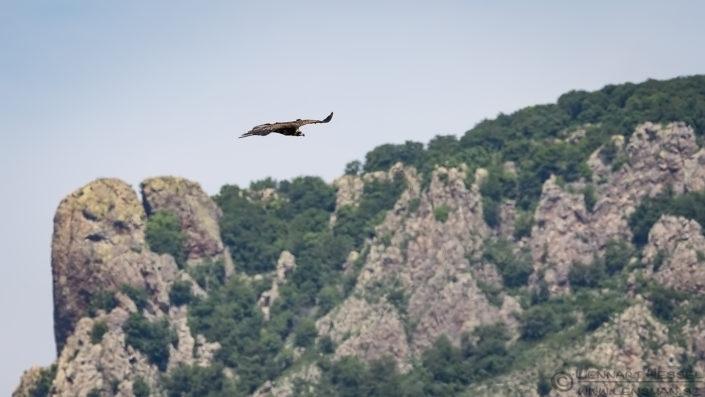 Cinereous Vulture Bulgaria 2016