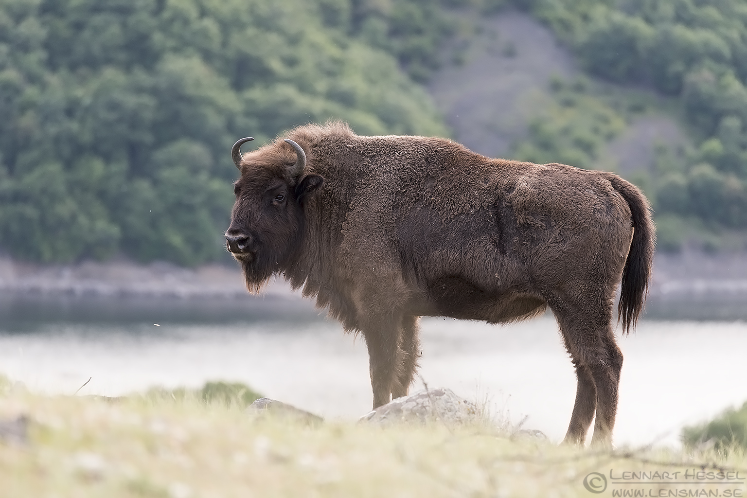 European Bison Bulgaria 2016