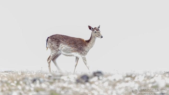 Fallow Deer high key Bulgaria 2016