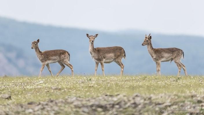 Fallow Deer trio Bulgaria 2016
