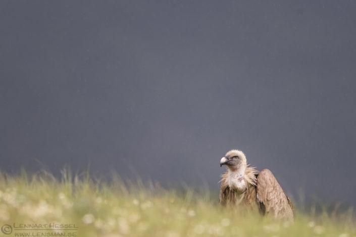 Griffon Vulture in the rain Bulgaria 2016