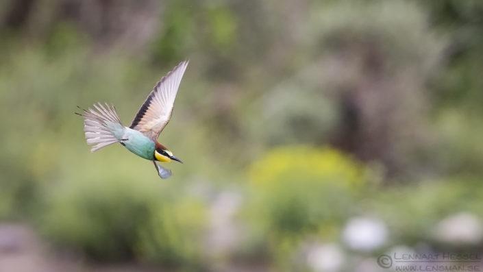 Flying European Bee-eater Bulgaria 2016