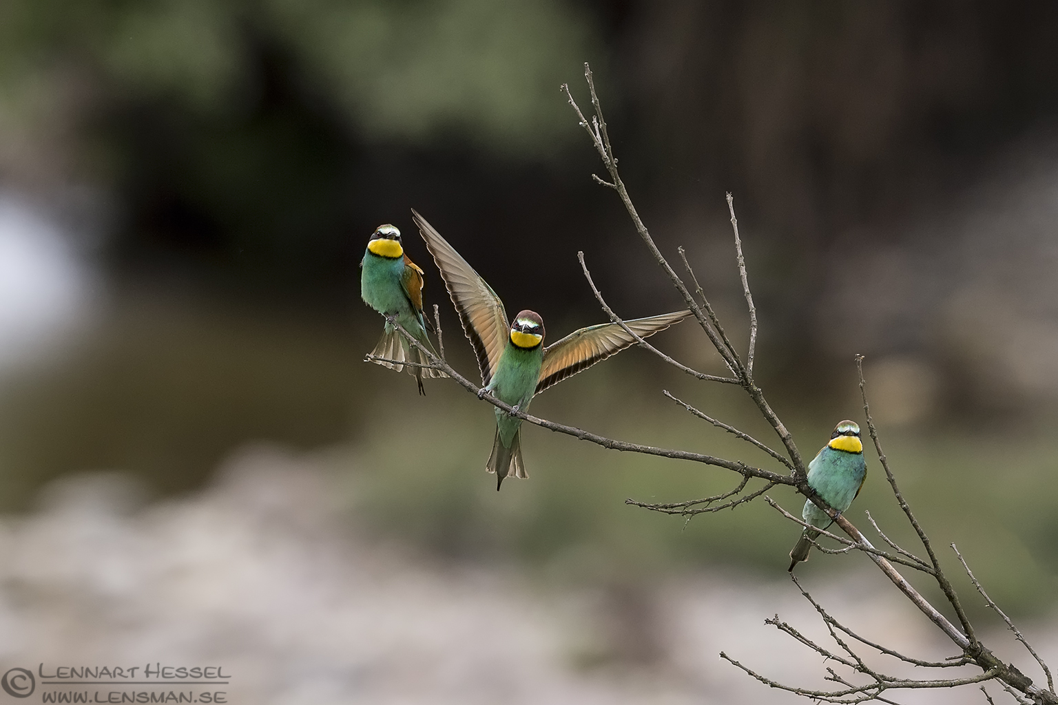 European Bee-eaters Bulgaria 2016