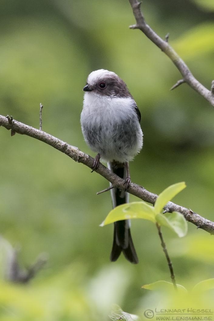 Long-tailed Tit Bulgaria 2016