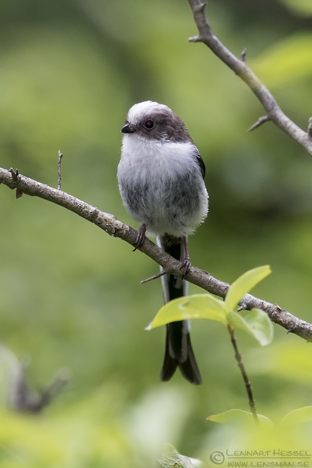 Long-tailed Tit Bulgaria 2016