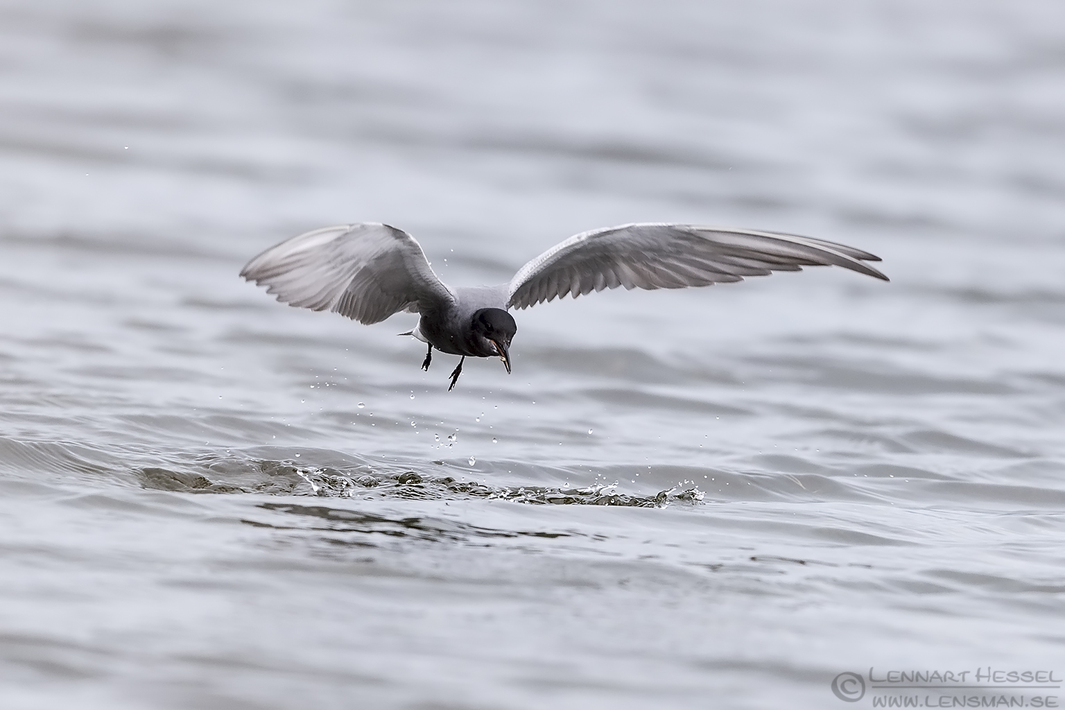 Black Tern with catch Bulgaria 2016