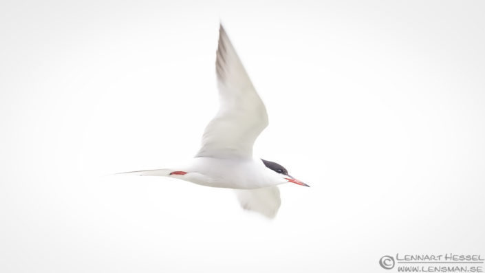 Common Tern high key Bulgaria 2016