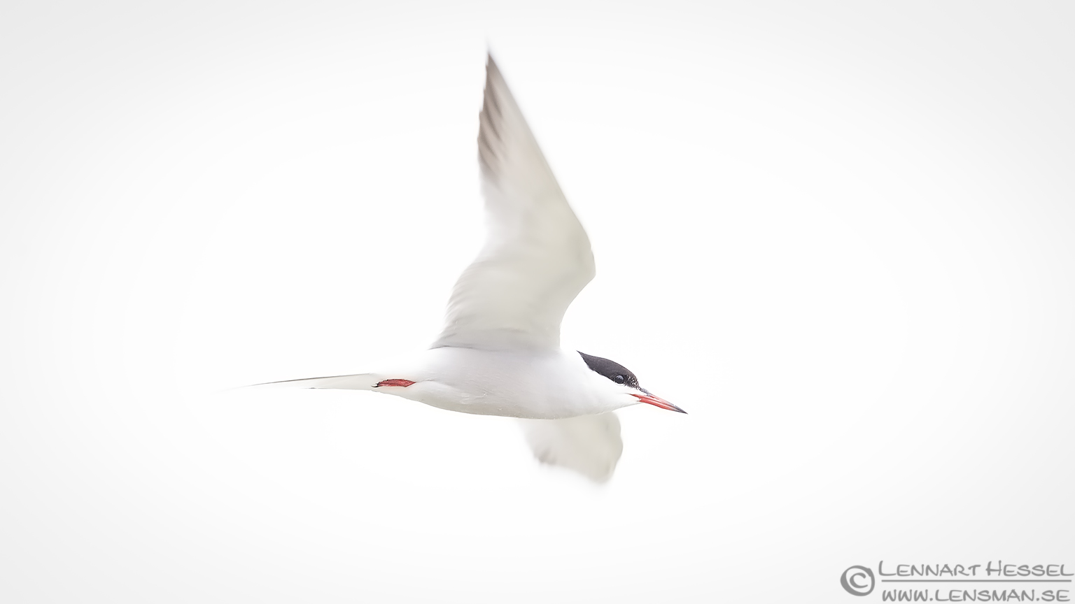 Common Tern high key Bulgaria 2016