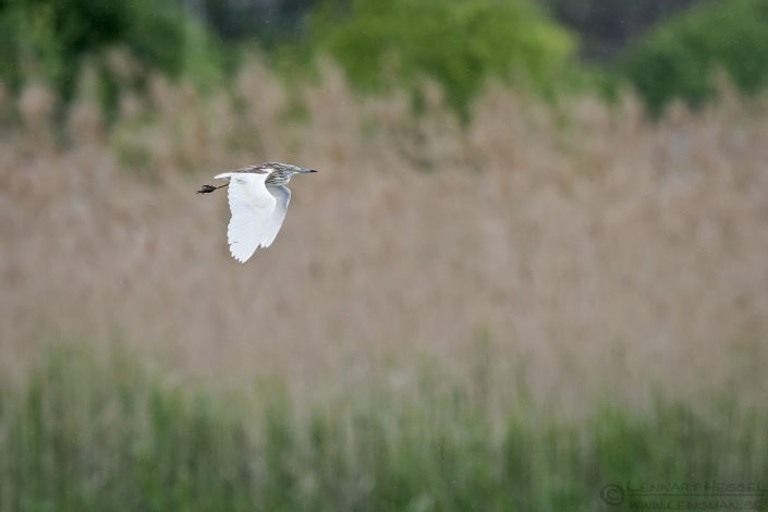 Squacco Heron in the rain Bulgaria 2016