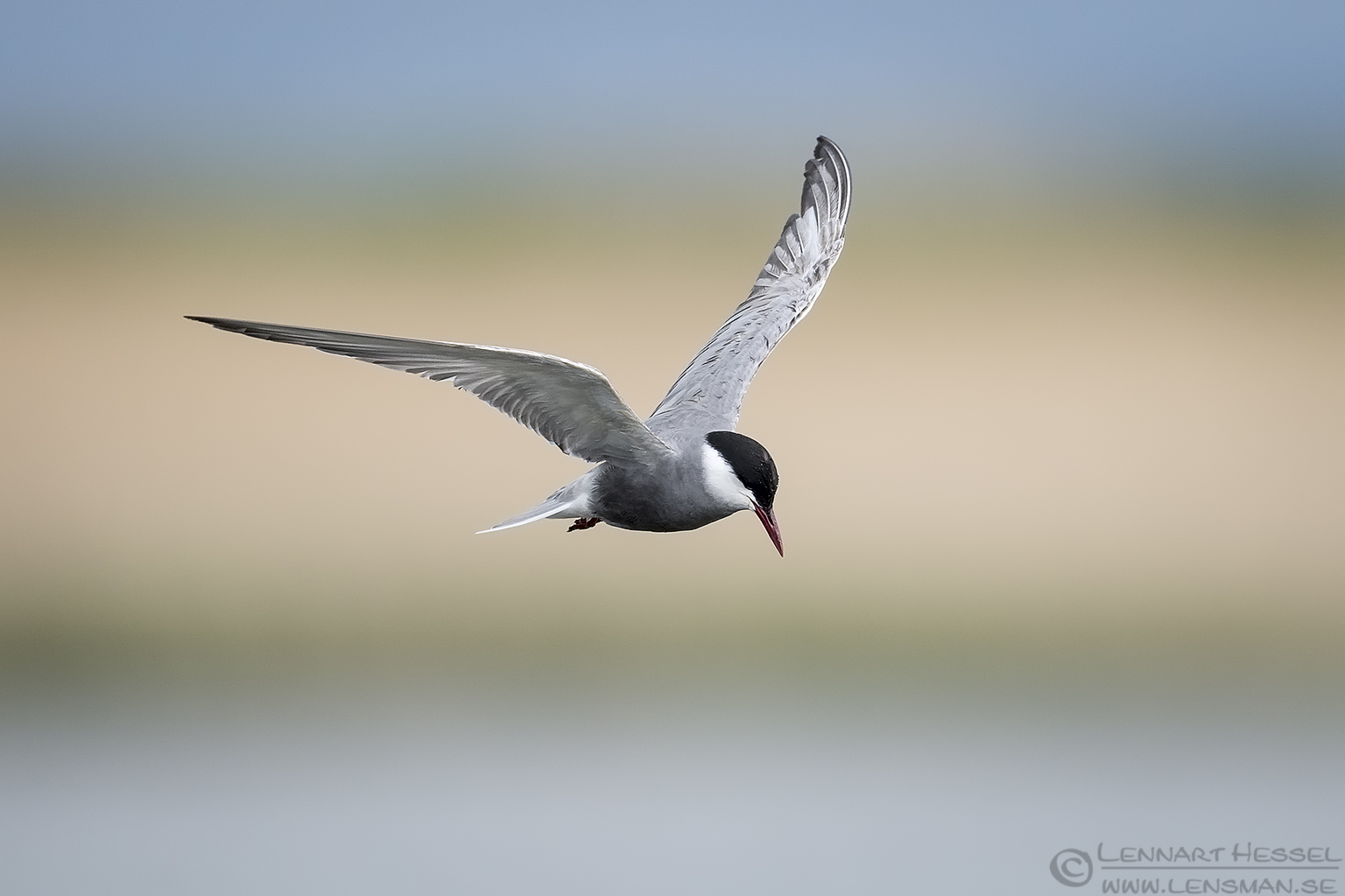 Whiskered Tern Bulgaria 2016