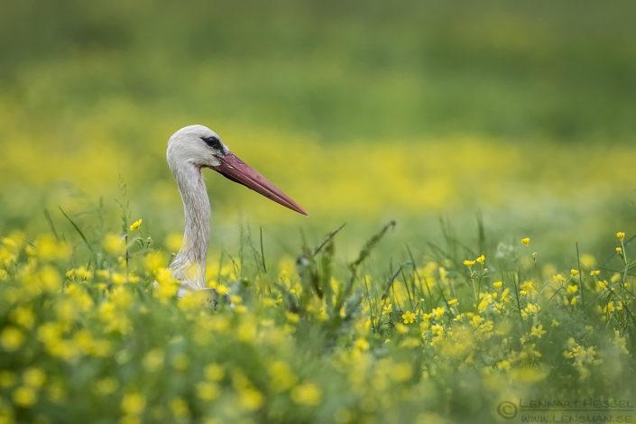 White Stork Bulgaria 2016
