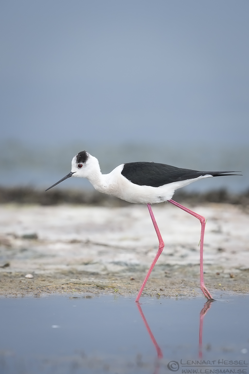 Black-winged Stilt Bulgaria 2016