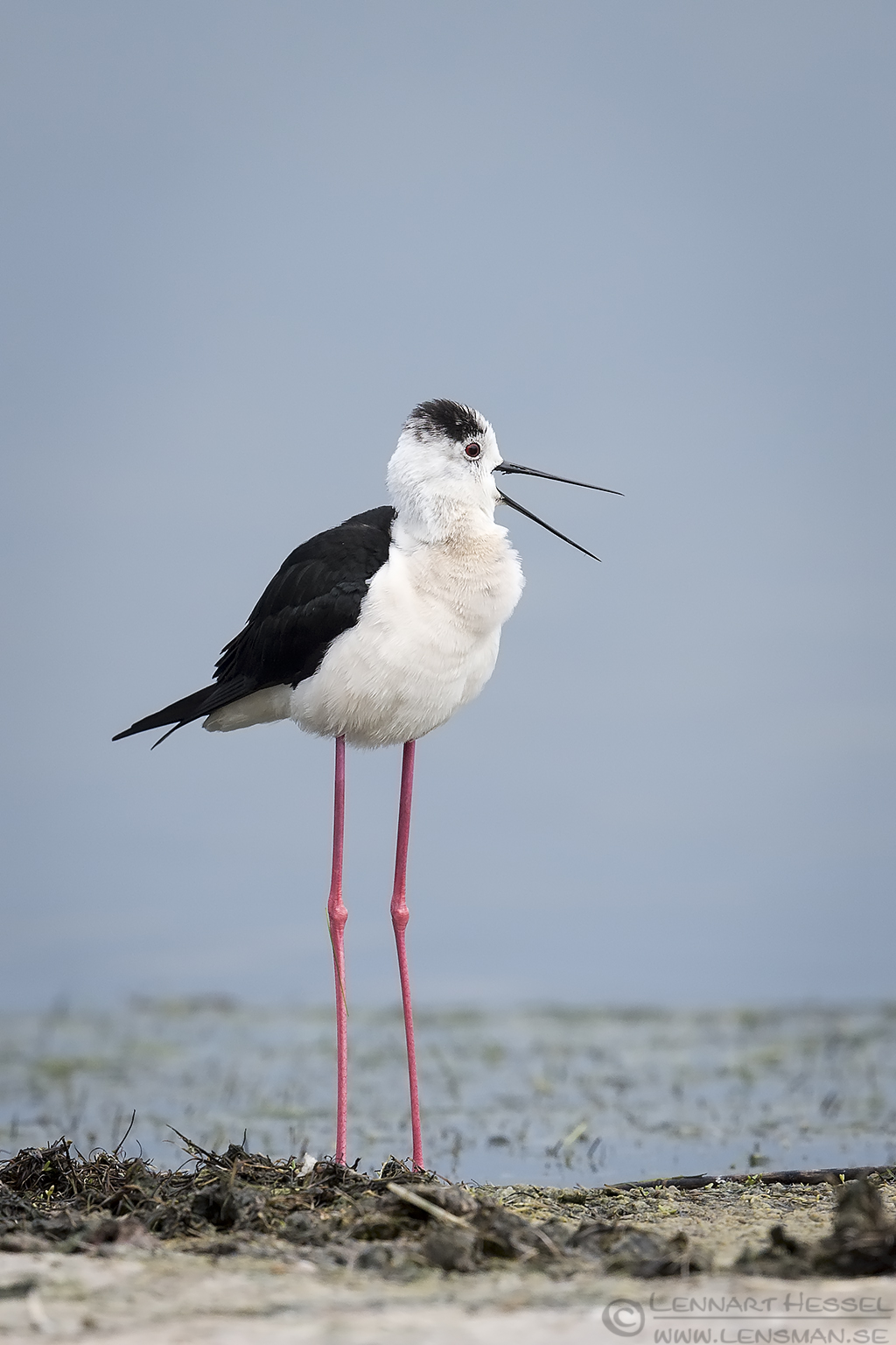 Calling Black-winged Stilt Bulgaria 2016
