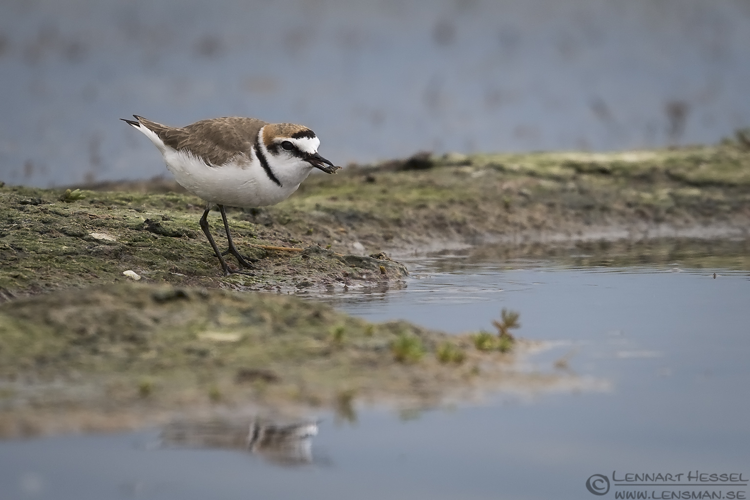 Kentish Plover Bulgaria 2016