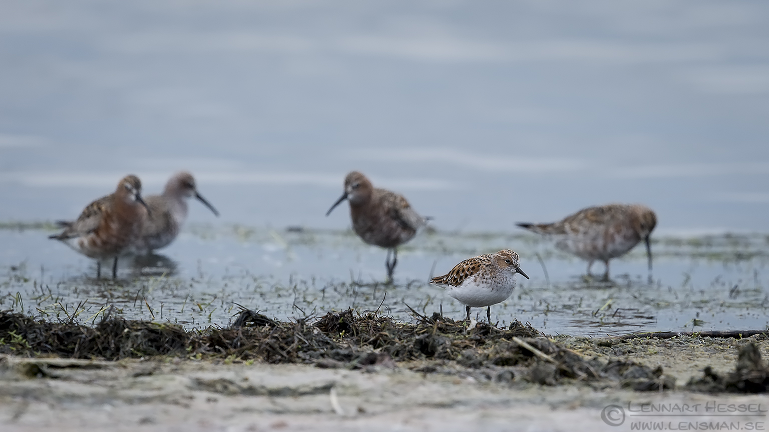 Little Stint and Curlew Sandpiper Bulgaria 2016