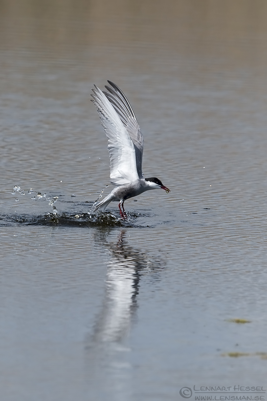 Whiskered Tern with catch Bulgaria 2016
