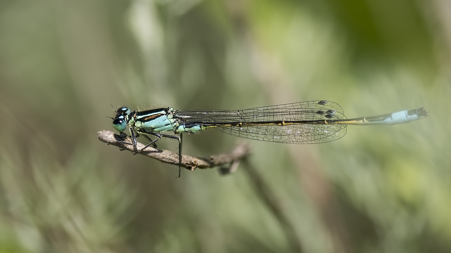 Common Blue Damselfly Bulgaria 2016