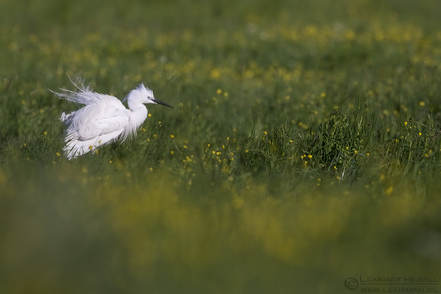 Little Egret Bulgaria 2016