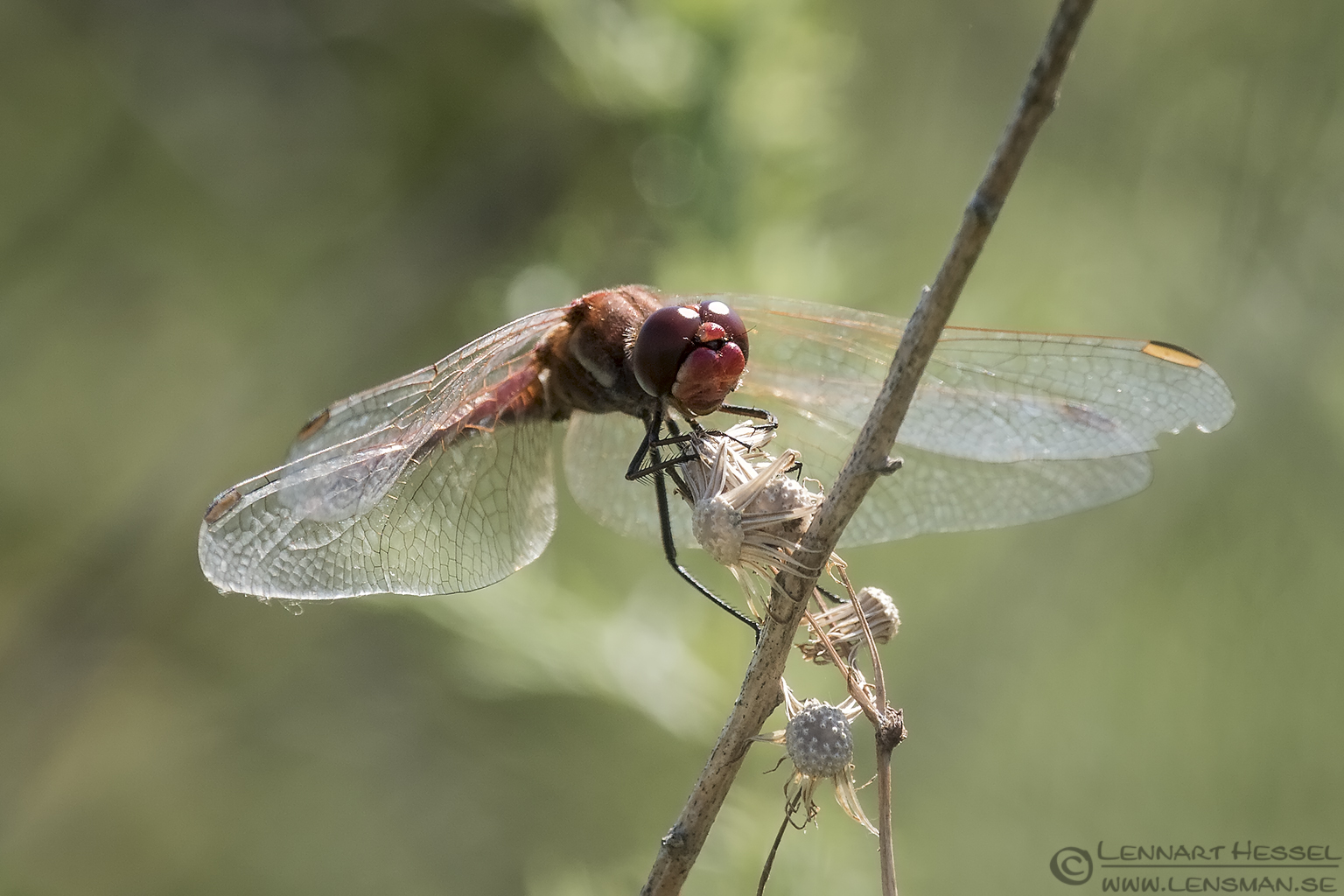 Red-veined Darter Bulgaria 2016