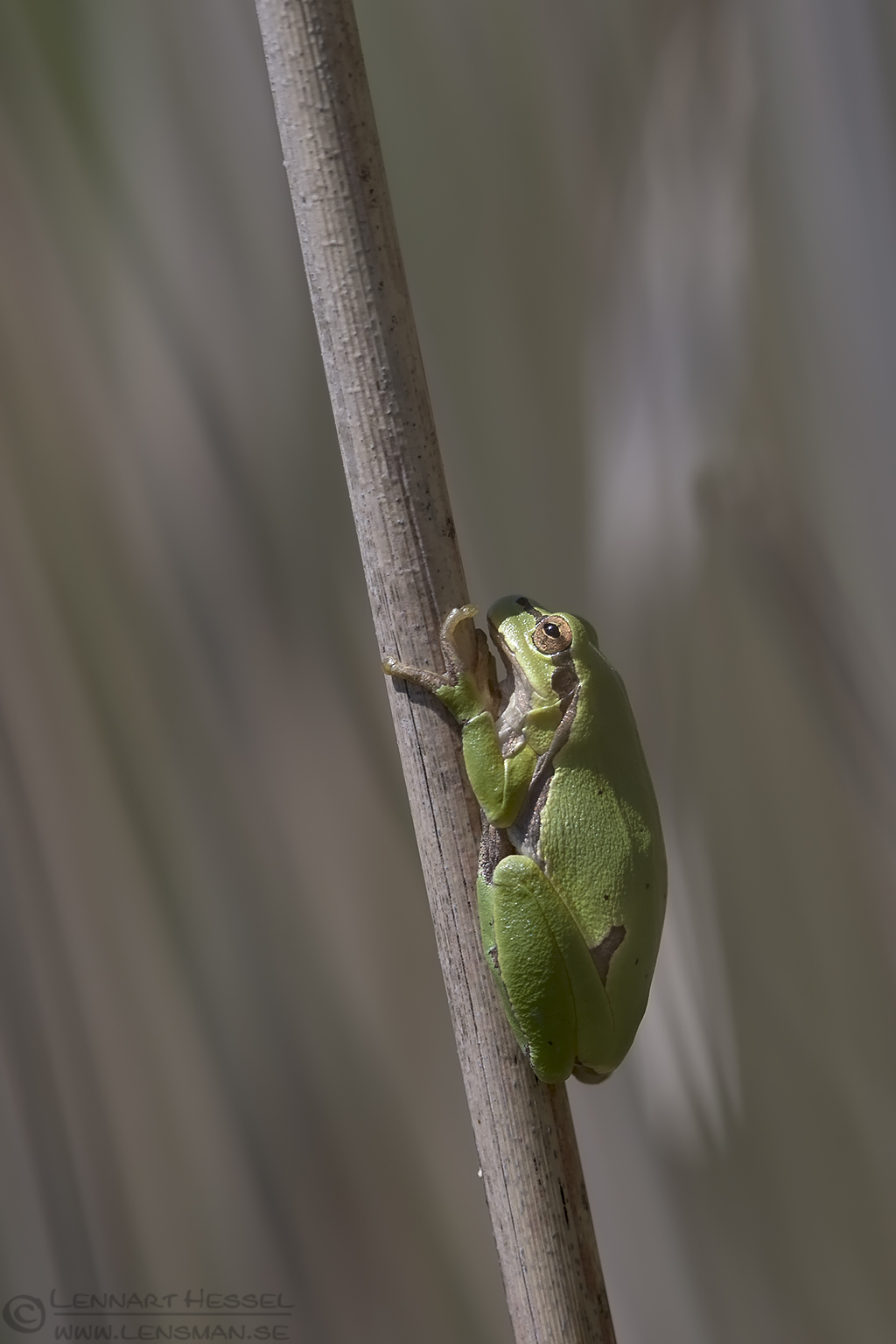 European Tree Frog Bulgaria 2016